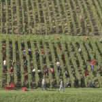 Vendanges 2015 - vignes Courville