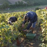 Vendanges 2015 - coupeurs