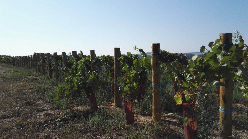 vigne Vincent Bennezon -viticulture durable en champagne